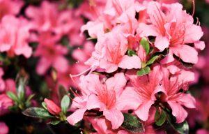 azaleas for landscaping