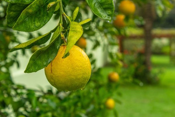 citrus trees for your backyard utopia