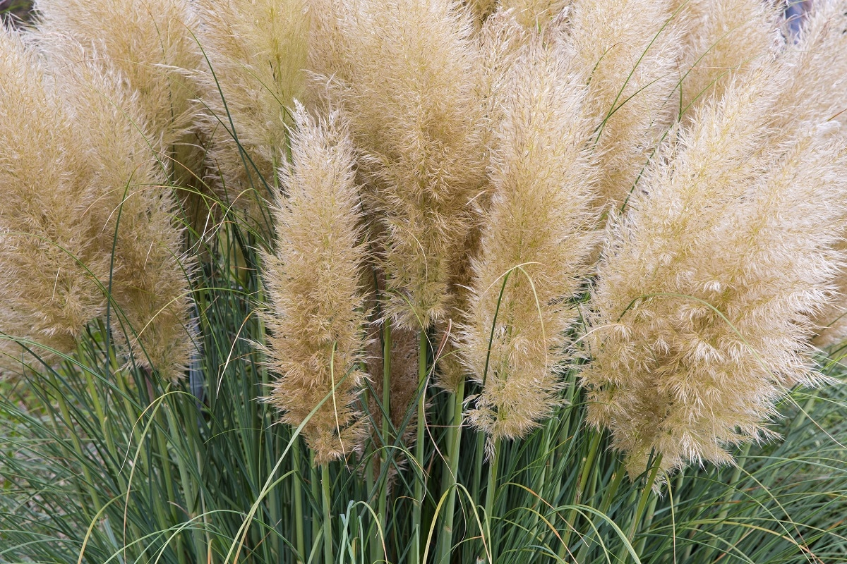 how to add feather reed grass to your landscaping