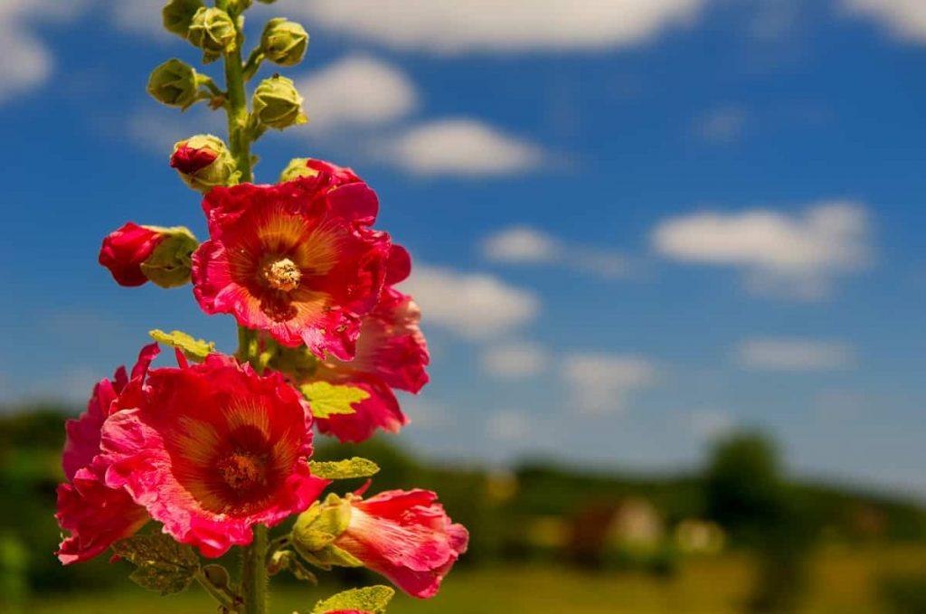 august gardening with hollyhock