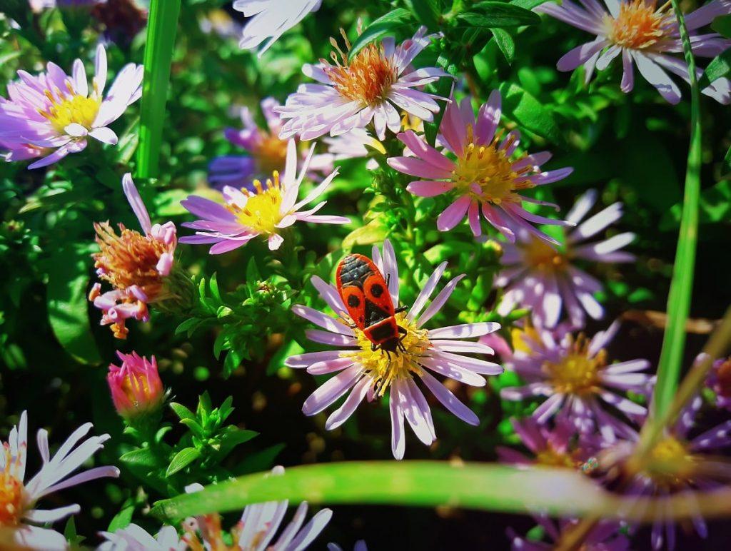 handling japanese beetles in your lawn