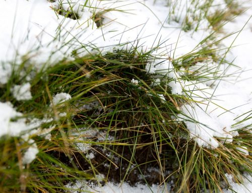 The Prevention and Treatment of Snow Mold on Grass