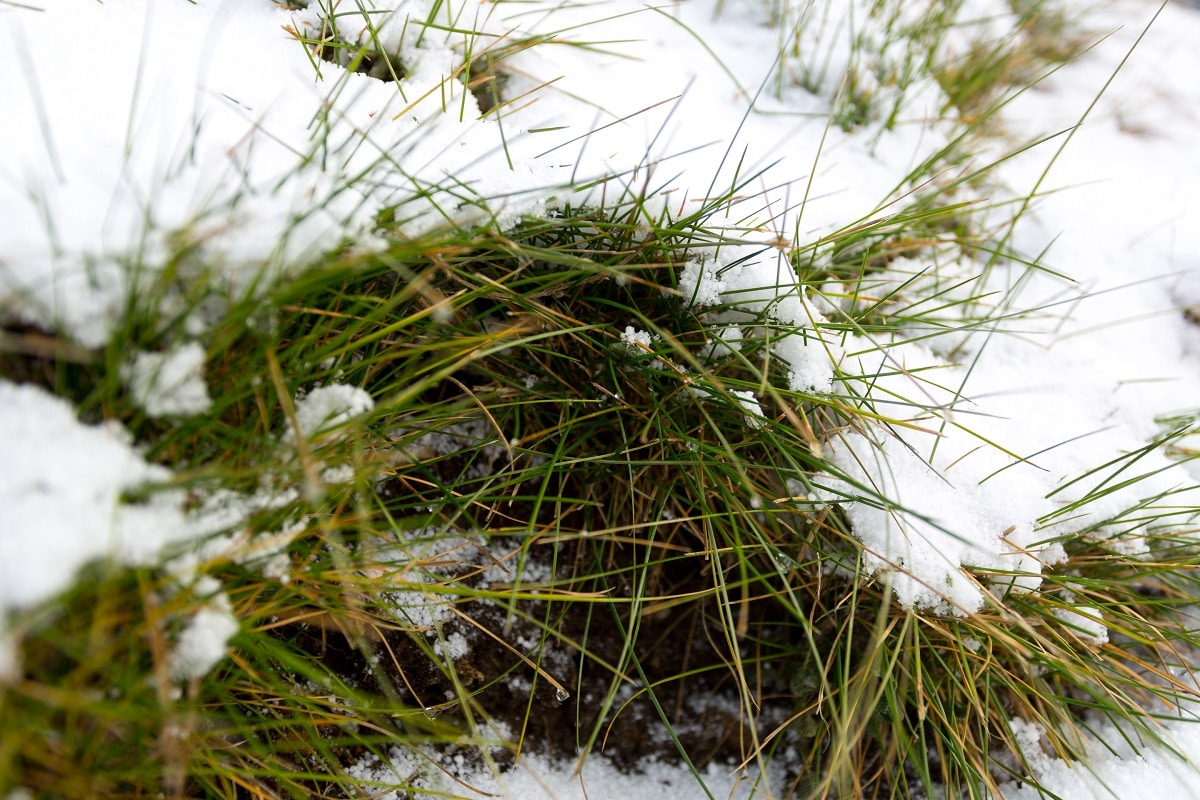 how to prevent snow mold on grass