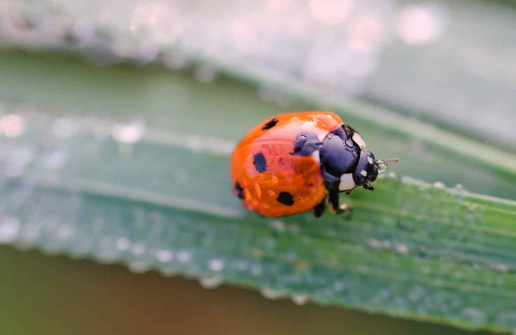 Asian beetles versus ladybugs