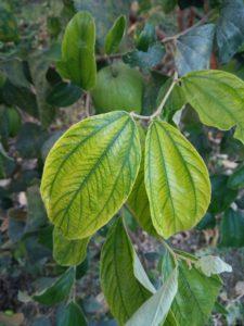 micronutrient deficient plant