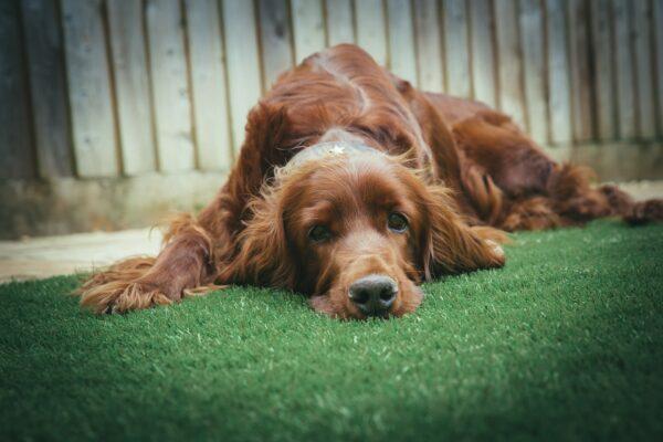 pet friendly lawn