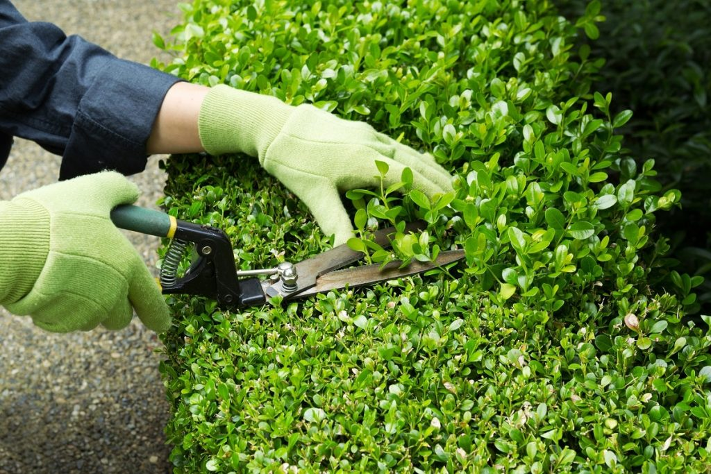 trimming hedges guide
