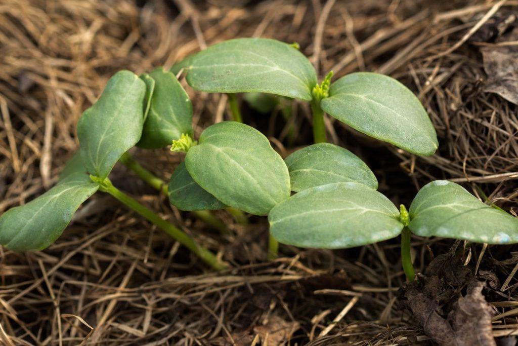 eliminating winter weeds