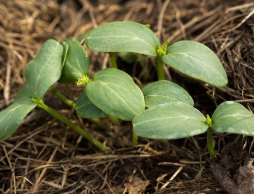 Common Winter Weeds and How to Eliminate Them
